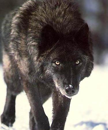 direwolf1.jpg